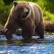 О повадках медведя // Петр Воронков — о повадках животного