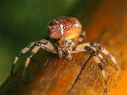 Общественные пауки