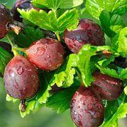 Крыжовник – наш северный виноград