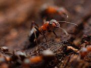 Язык муравьев