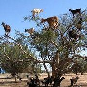 Почему козы Марокко пасутся на деревьях?
