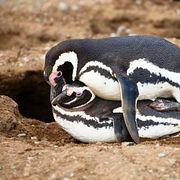 Пингвины тоже занимаются проституцией (43)