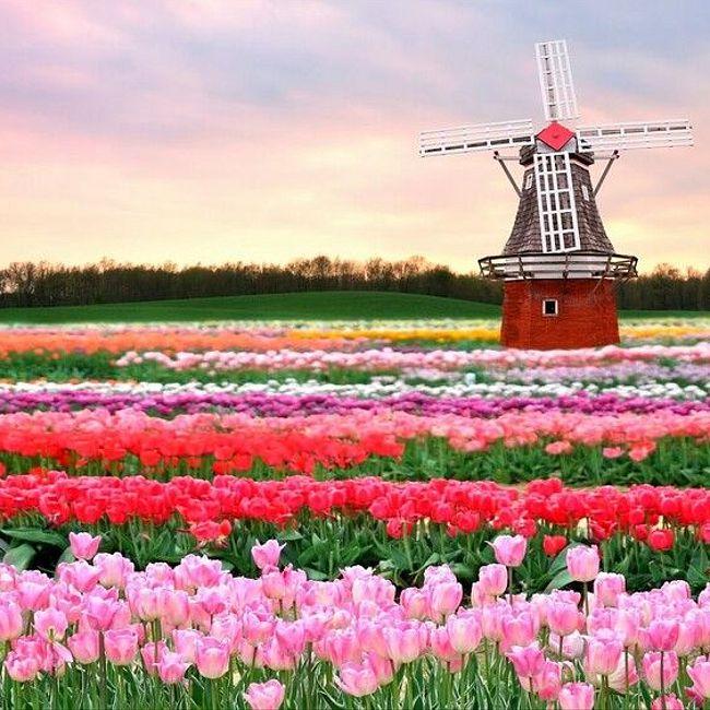 сколько цветов сейчас демонстрируют в парке Кёкенхоф