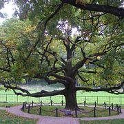 Черешчатый дуб из Белгородской области