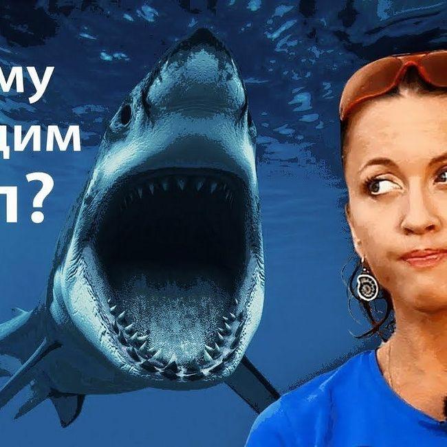 Почему мы едим акул? // Всё как у зверей #76