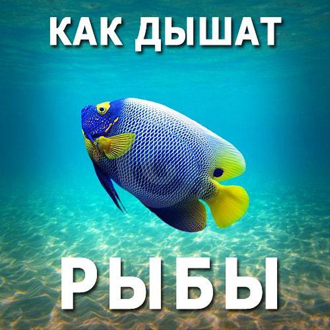Как дышат рыбы. (83)