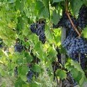 Путь вина: как собирают урожай? (59)