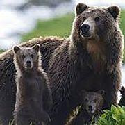 #ХОЧУрелакс (Кин Чик Ын s05 e20) - Медведи Камчатки. Начало Жизни