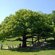 Дерево года в России